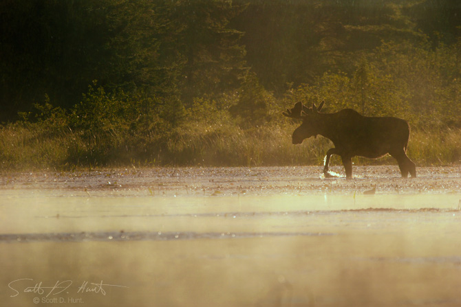 moose-mist-walking